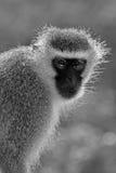 Scimmia di Vervet Immagine Stock