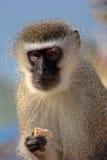 Scimmia di Vervet Fotografie Stock