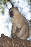 Scimmia di Vervet Fotografie Stock Libere da Diritti