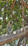 Scimmia di Vervet Fotografia Stock