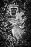 Scimmia di vervet in bianco e nero Fotografia Stock