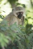 Scimmia di Vervet che mangia le foglie Immagine Stock Libera da Diritti