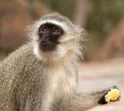 Scimmia di Vervet che mangia un arancio fotografia stock