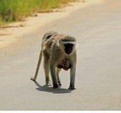 Scimmia di Vervet che porta suo giovane Immagine Stock Libera da Diritti