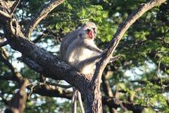 Scimmia di Vervet che sbadiglia Fotografia Stock Libera da Diritti