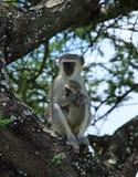 Scimmia di Vervet che tiene i suoi giovani Fotografie Stock