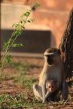 Scimmia di Vervet con il bambino immagini stock