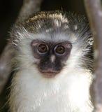 Scimmia di Vervet del bambino Immagini Stock Libere da Diritti