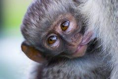 Scimmia di Vervet del bambino Immagine Stock Libera da Diritti