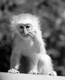 Scimmia di Vervet del bambino Immagini Stock