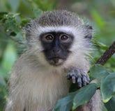 Scimmia di Vervet del bambino Fotografia Stock