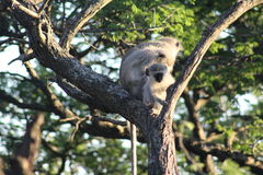 Scimmia di Vervet del bambino in un albero Immagini Stock