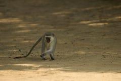 Scimmia di Vervet nello St Lucia Fotografia Stock Libera da Diritti