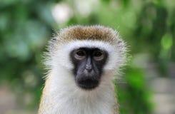 Scimmia di Vervet, parco nazionale del Kenya Immagini Stock Libere da Diritti