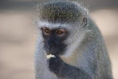 Scimmia di Vervet (pygerythrus di Chlorocebus) che mangia un pezzo di pane tostato Fotografia Stock Libera da Diritti