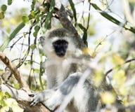 Scimmia di Vervet, sedentesi sul ramo con le armi piegate fotografia stock libera da diritti