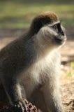 Scimmia di Vervet su terra. Fotografie Stock Libere da Diritti