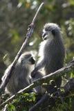 Scimmia di Vervet, Sudafrica Fotografie Stock Libere da Diritti
