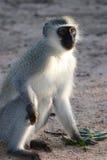 Scimmia di vervet verde grigia Fotografia Stock Libera da Diritti