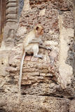 Scimmia di Yound e vecchia costruzione Fotografia Stock