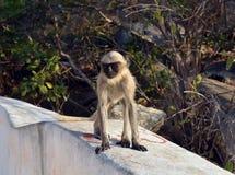 Scimmia divertente Fotografie Stock