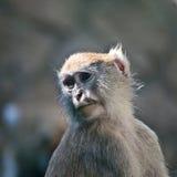 Scimmia dolorosa Fotografia Stock Libera da Diritti