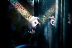 Scimmia domandantesi Immagini Stock