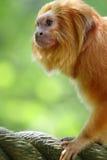 Scimmia dorata Fotografie Stock