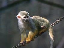 Scimmia dorata Fotografia Stock