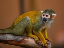 Scimmia dorata dei capelli Fotografie Stock