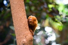 Scimmia dorata del Tamarin del leone Immagine Stock