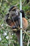 Scimmia dorata (kandti del Cercopithecus) Fotografia Stock Libera da Diritti