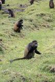 Scimmia dorata pericolosa, foraggiante nel campo, vulcani nazionali Fotografia Stock Libera da Diritti