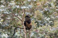 Scimmia dorata pericolosa nell'albero di eucalyptus, vulcani nazionali Fotografie Stock