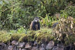 Scimmia dorata pericolosa sulla parete del bufalo, parità del cittadino dei vulcani Immagini Stock Libere da Diritti