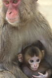 Scimmia due del Giappone Immagine Stock