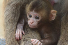 Scimmia due del Giappone Immagine Stock Libera da Diritti