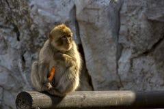 Scimmia e arrots Fotografie Stock