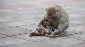 Scimmia e bambino, scimmia Fotografie Stock