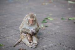 Scimmia e bambino, scimmia Fotografie Stock Libere da Diritti