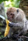 Scimmia e banana Fotografia Stock