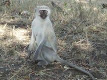 Scimmia femminile Immagine Stock Libera da Diritti