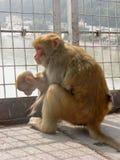 Scimmia femminile che si siede con un bambino su un ponte fotografia stock