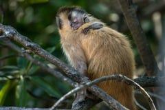 Scimmia femminile del cappuccino con un bambino su lei indietro Fotografia Stock