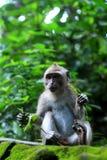Scimmia fissare mentre mangiando Fotografia Stock