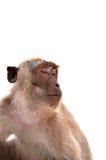 Scimmia, fondo bianco Fotografie Stock