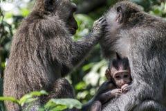 Scimmia Forest Family di Bali Indonesia Ubud Fotografia Stock Libera da Diritti