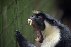 Scimmia furiosa della Diana Immagine Stock Libera da Diritti