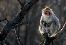 Scimmia giapponese Fotografie Stock