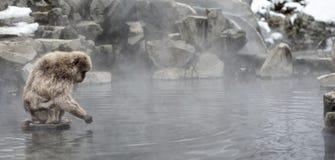Scimmia giapponese della neve Immagini Stock